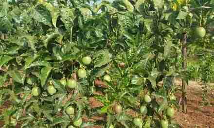 Passion Fruit Production Profits Per Acre