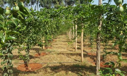 Managing Passion fruit Farm: How to Do It So That You Can Get High Yields From it