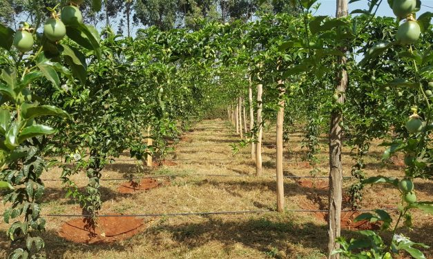 Managing Passion fruit Farm: Best Tactics For Great Passion Yields