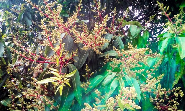 Flowering Mango Trees: How To Induce Early Flowering To Avoid Market Gluts