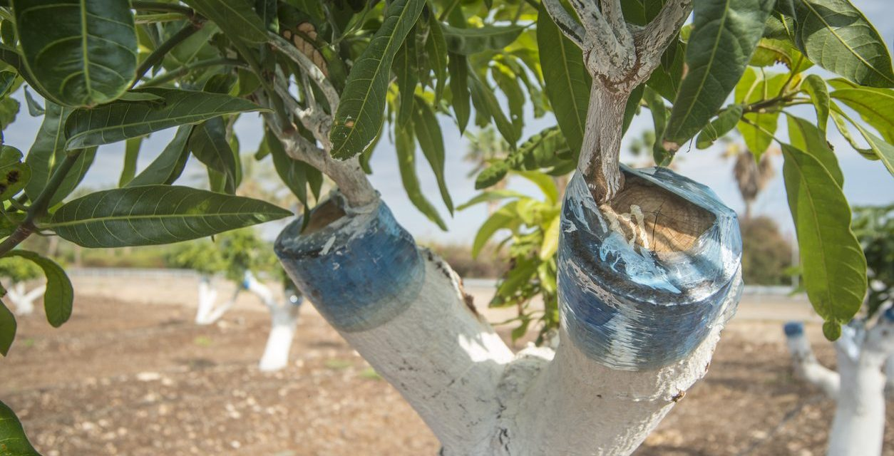 Mango Propagation Tips and Tricks