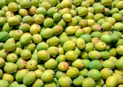 You can have a great mango harvest if you control mango pests