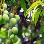Mango Association To Help Kenyan Mango Farmers Access Markets