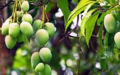 Top Mango Diseases In Kenya