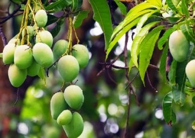 mango is a highly profitable fruit