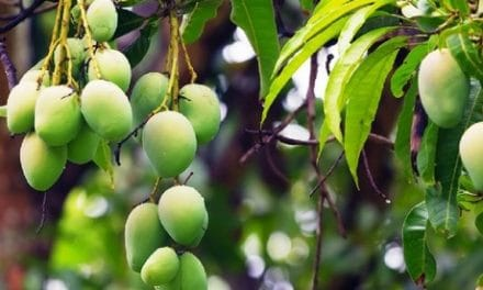 Mango Association To Help Kenyan Mango Farmers Access Markets