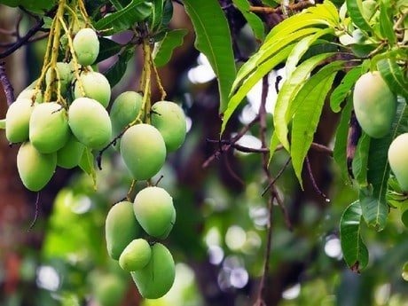 Top Mango Diseases In Kenya