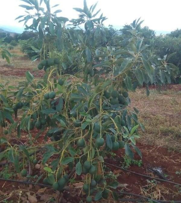 How To Prune Hass Avocado For More Yields and Profit!