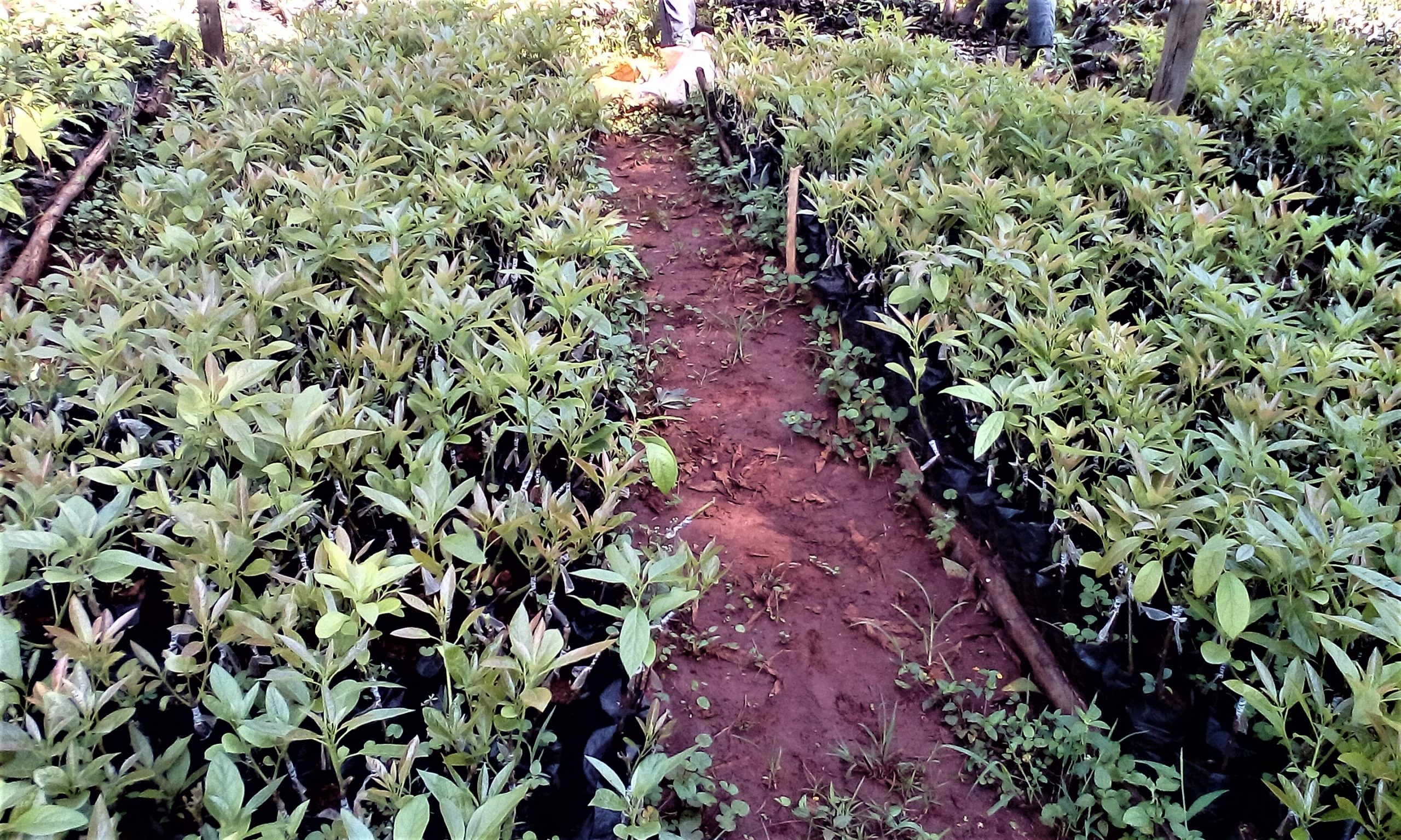 Buy Hass Avovado Seedlings