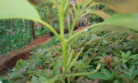 Hass Avocado Seedlings for Sale Contact 0715609418