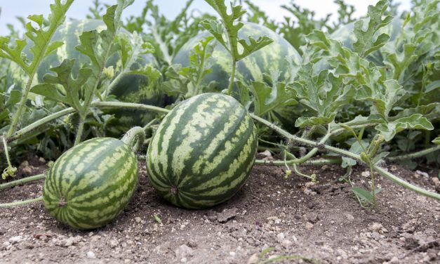 The Yield of Watermelon Per Acre: How to Maximize Its Yields For Profit