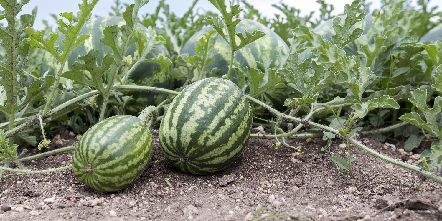 Which is the best month to Grow watermelon in Kenya