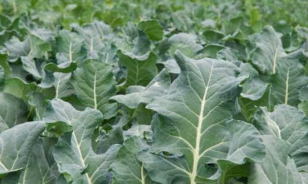 Sukuma Wiki Diseases: Here's How To Control Them Effectively