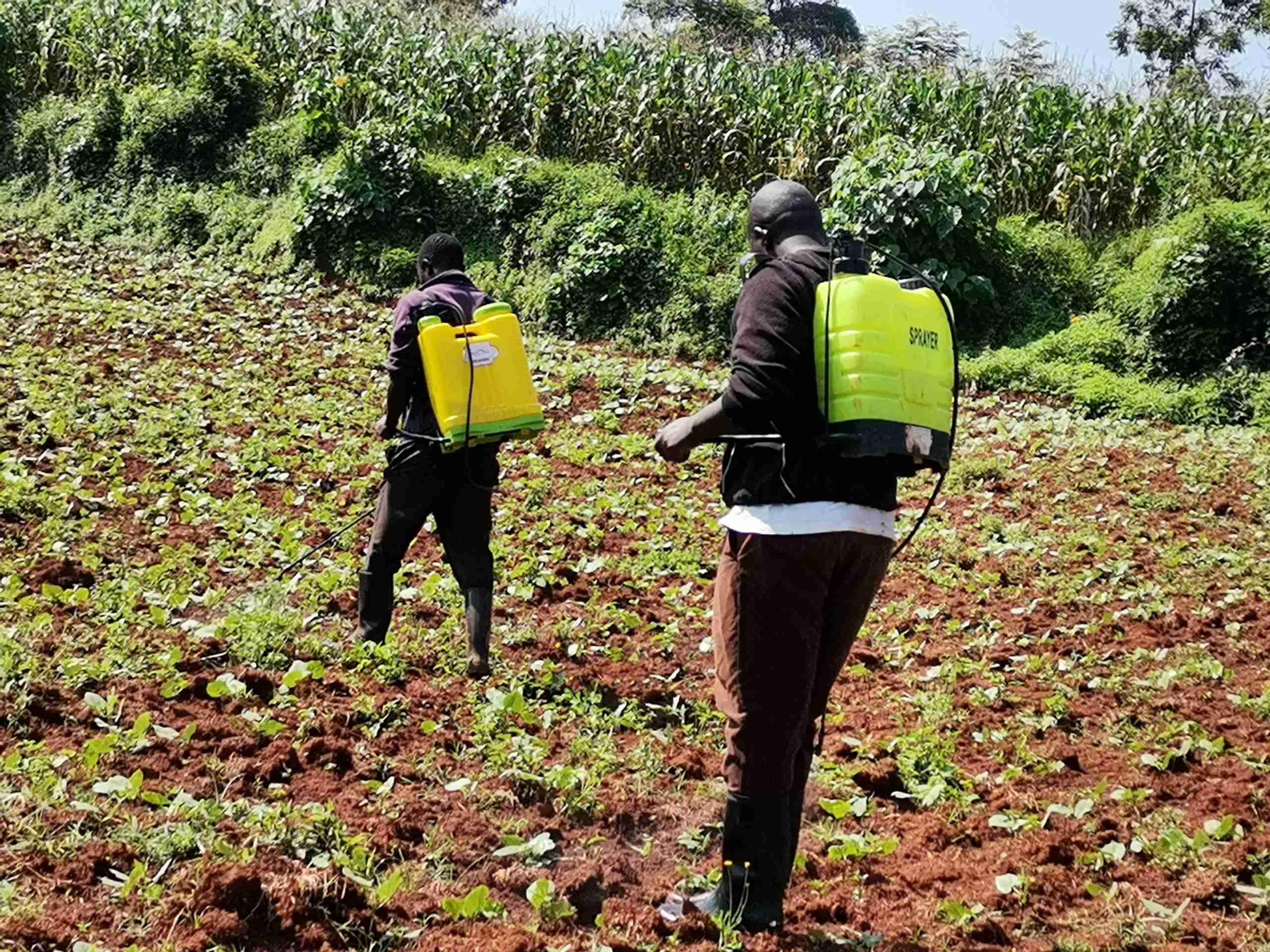Application of bean herbicide using knapsacks