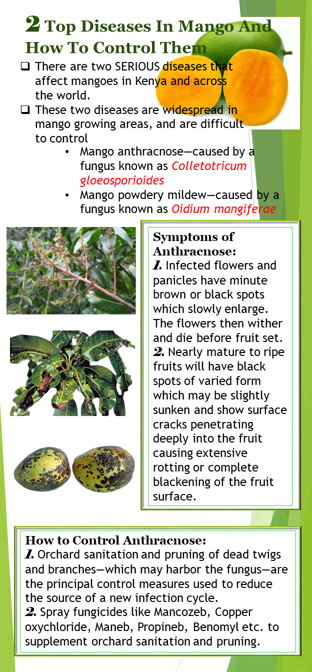 Top Mango diseases in Kenya infographic