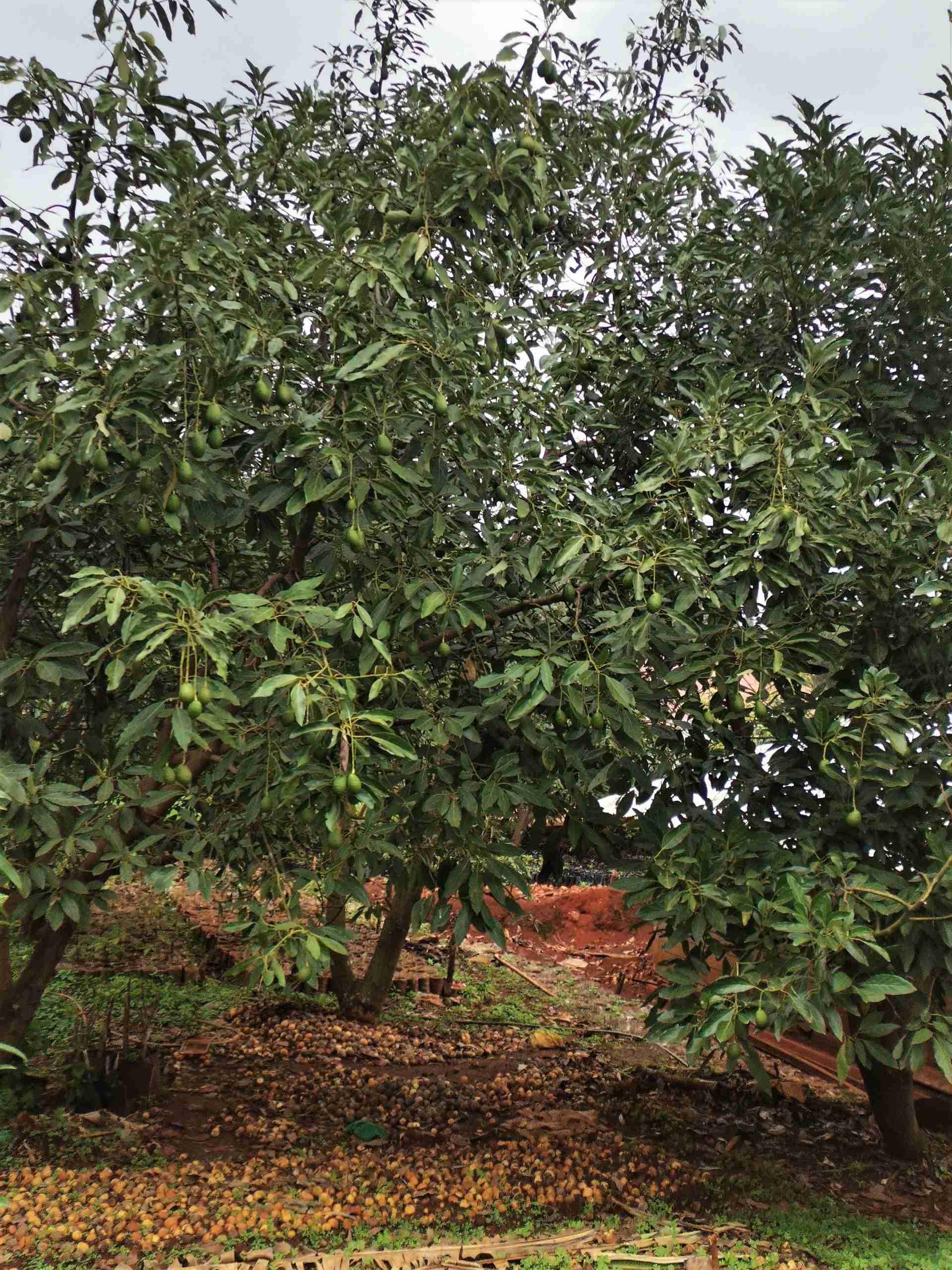 Three Hass Avocado Trees in Samuel Tirimba's compound