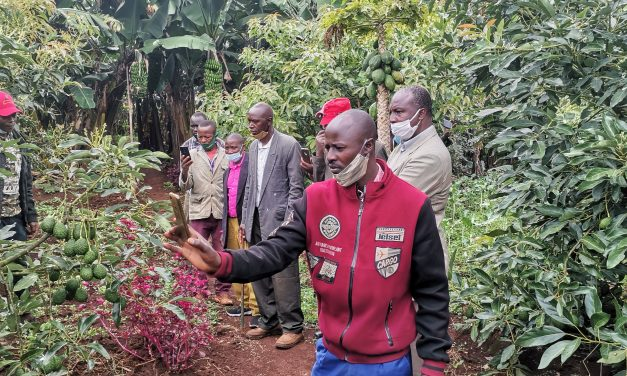 How A Kisii Farmer Made Over 160,000 Shillings From Hass Avocado!