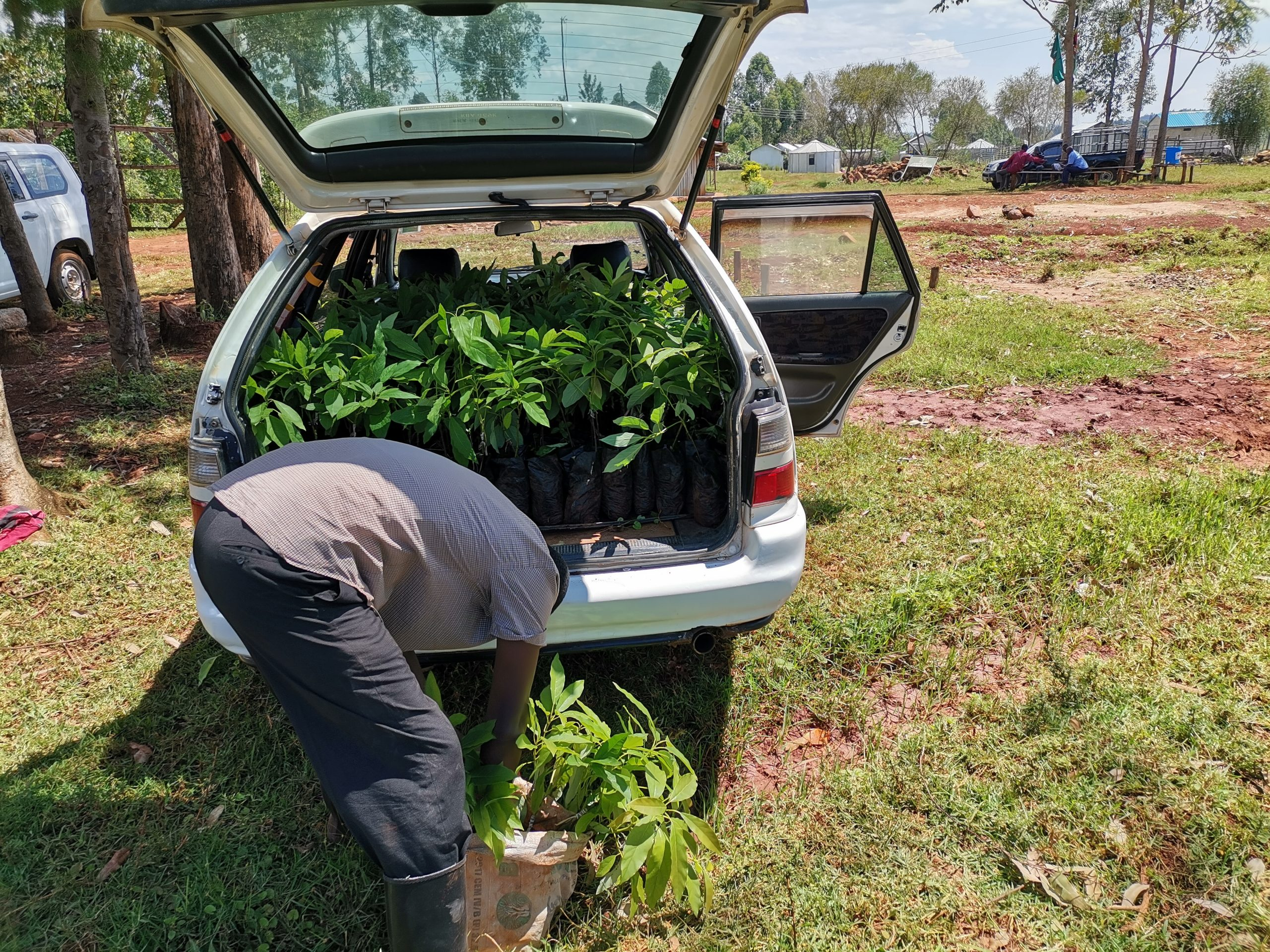 A customer buys Hass Avocado seedlings In Nyamira Prison Farm