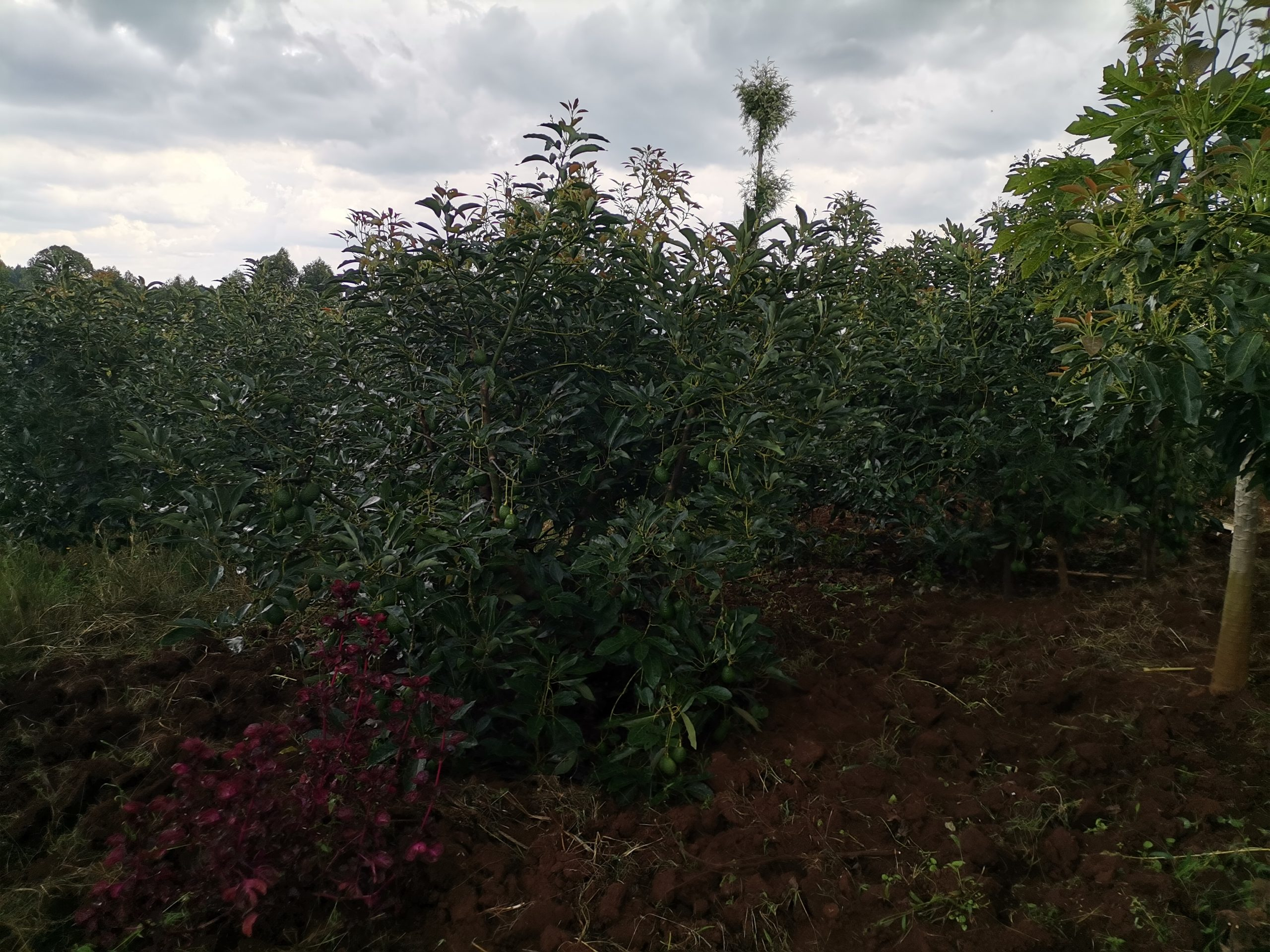 A Hass Avocado Tree that has already produced fruit