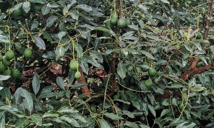 Mexican Avocado Exports Increase Thanks To Great Demand in USA