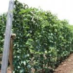 What can I Intercrop With Passion Fruits? 21 Amazing Crops For That!