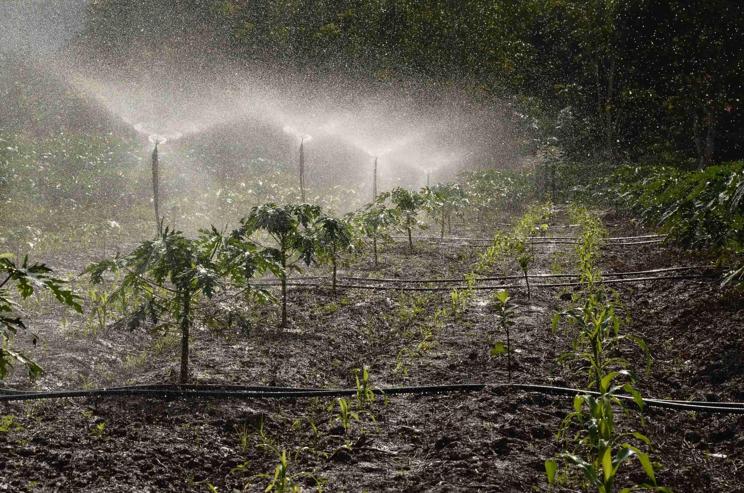 regular irrigation prevents flower abortion in passion fruit