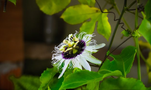 How to Permanently Stop flower Abortion In Passion Fruit!