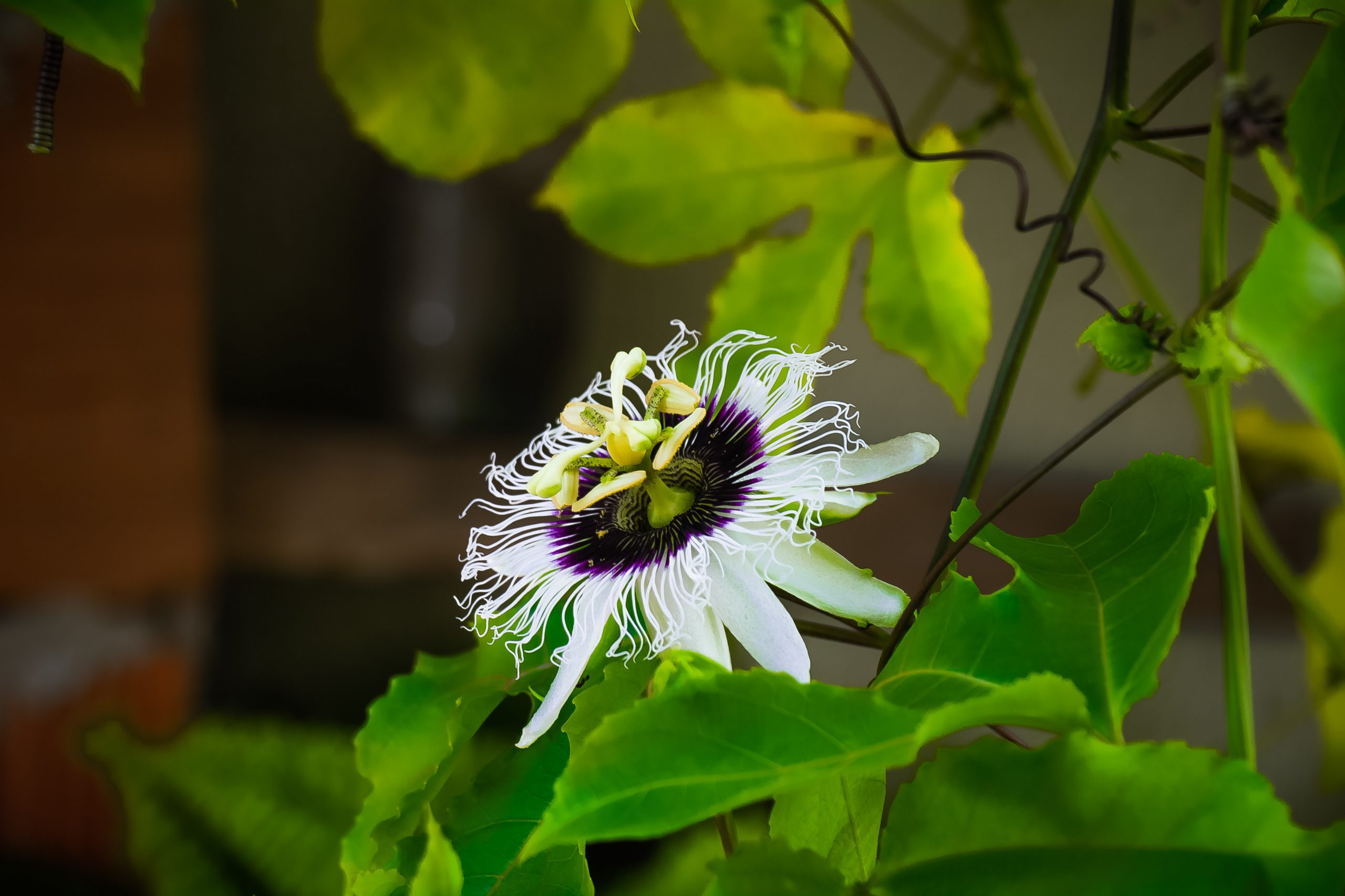 Flower abortion in Passion Fruit can harm your harvests
