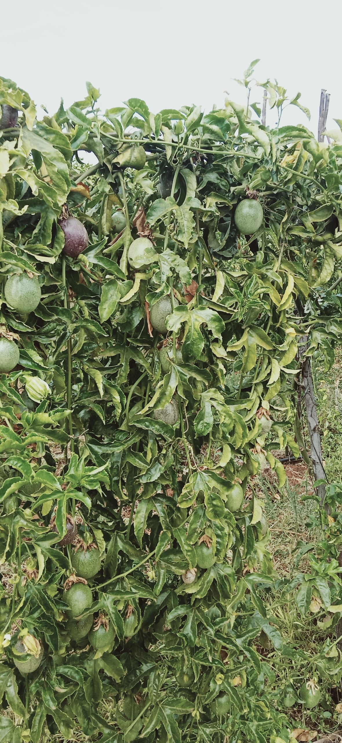wonderful passion fruits