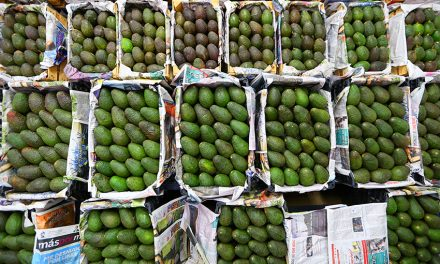 No Mercy to the Cartels: Mexico's Avocado farmers Vow!