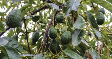 Growing Avocado in Nyeri County sets New records