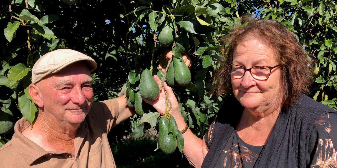 New focus for region's oldest avocado orchard