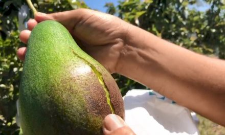 VIDEO: Avocado harvest in Tainan hurt by weather