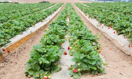 Farming Strawberries the Easy and Profitable Way