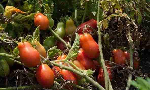 Rio Grande Tomato is great