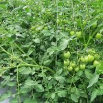 Open Field Tomato Farming: Check Out This to Get Amazing Yields