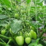 Rio Grande Tomato Variety. The Good, Bad, and the Ugly