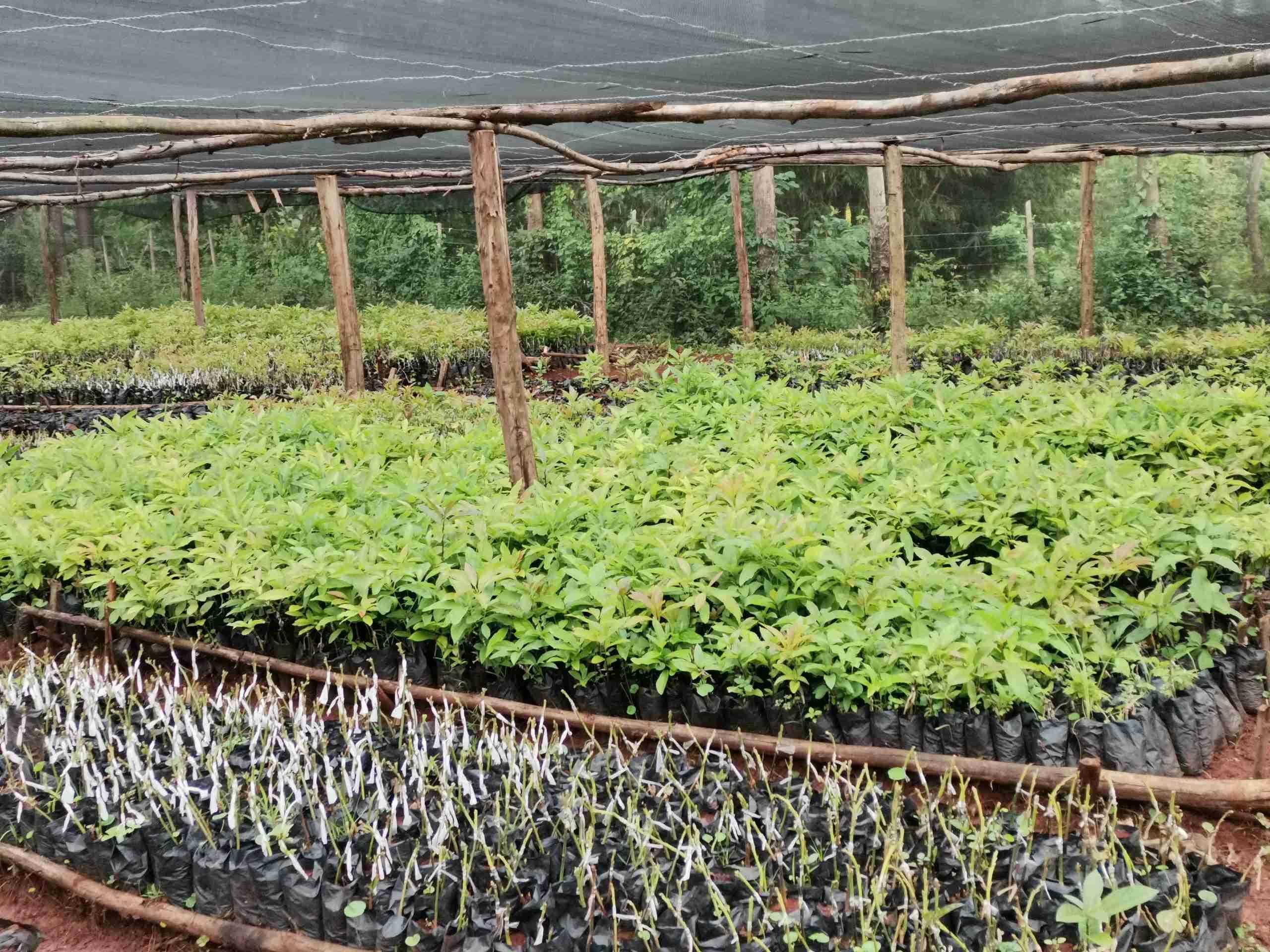 Avocado seedlings being prepared for export
