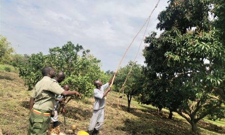 Powdery Mildew in Mango: It's Time to Say Goodbye to This Disease!