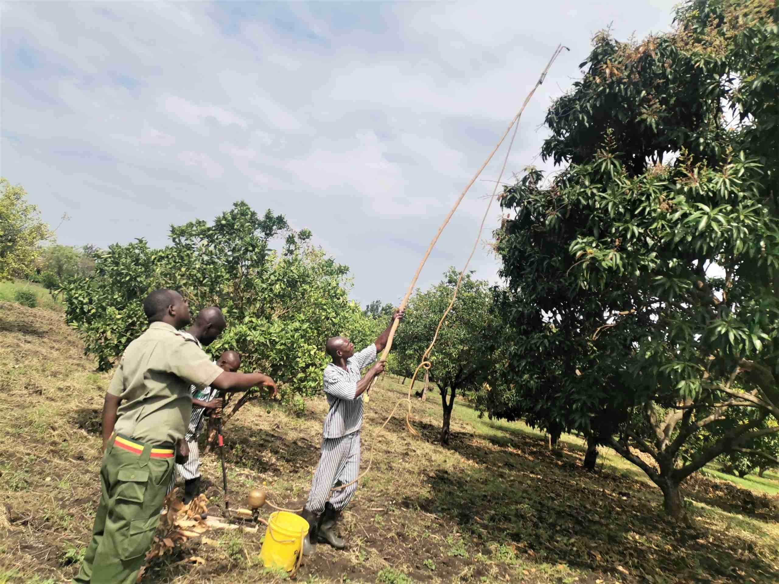Spraying powdery mildew in mango