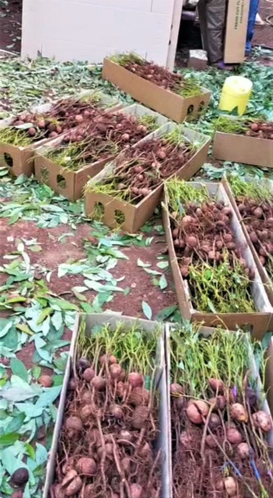 Defoliation of Avocado seedlings to reduce weight