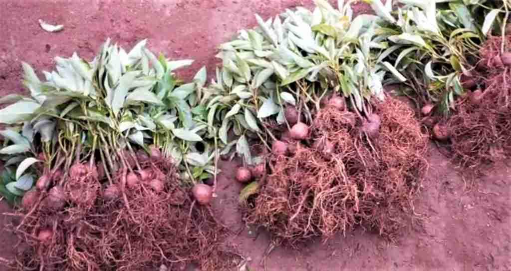 Avocado bare root seedlings