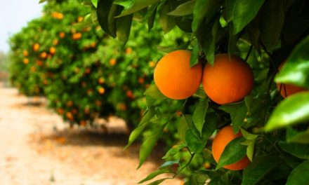 Great Shock as Florida Citrus Fruit Continues to Shrink